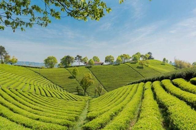 What is Anji white tea?
